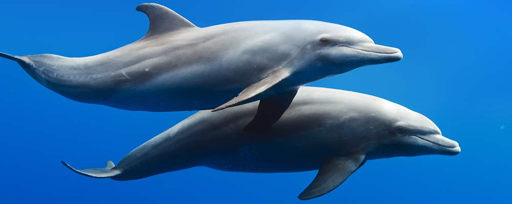 2 bottlenose dolphins swimming