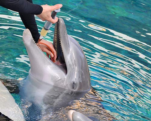 bottlenose dolphin in marine care facility