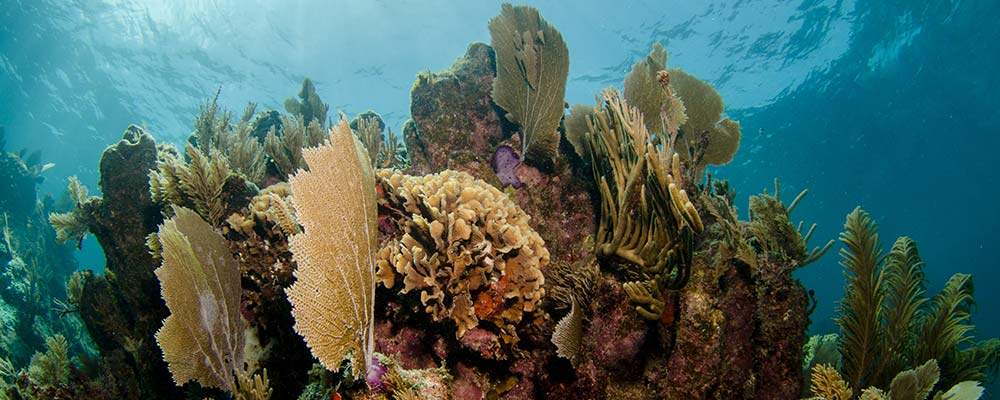 coral in mesoamerican barrier reef