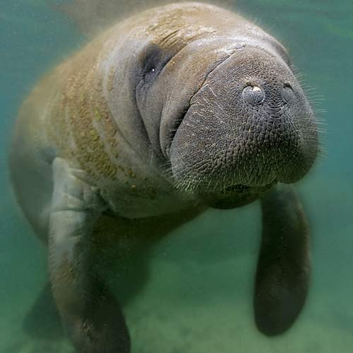 manatee swimming in costal waters