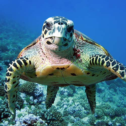 sea turtle swimming in costal waters